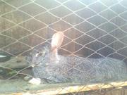Продажа домашних кроликов