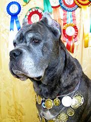 Продаются супер щенки Кане-Корсо от чемпионов