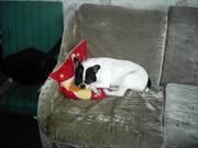 Пропала собака. Породы Французский бульдог