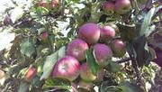 Польские яблоки Лето