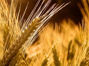 Продаю пшеницу,  зерноотходы, ячмень,  овёс. По всей территории РК и РФ!