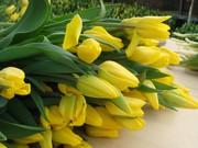 Тюльпан оптом к 8 марта примула,  крокус,  гвоздика OSCAR.