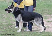 Восточноевропейской овчарки щенки (ВЕО)