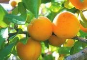 срочно. саженцы абрикоса 1000 штук.